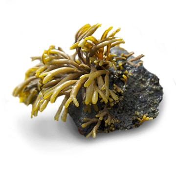 Principe actif algue pelvetia canaliculata