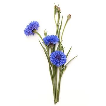 Principe actif bleuet