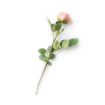 Principe actif rose