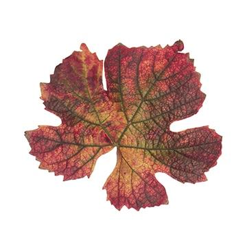 Principe actif vigne rouge